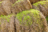 The sprouted wheat  — Stock Photo