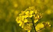 Colza flower — Stock Photo