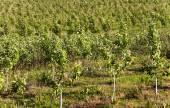 Jóvenes árboles frutales — Foto de Stock
