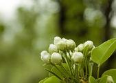 Flor de manzano — Foto de Stock