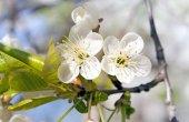 Flores de manzano — Foto de Stock