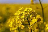 Blossoming colza — Stock Photo