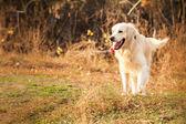 Young golden retriever dog — Stock Photo