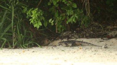 Komodo Dragon on shore — ストックビデオ