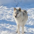 Rocky Mountain gray wolf — Foto Stock #68834753