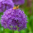 Butterfly on the Allium flower — Stock Photo #72529033