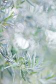 Olives on olive tree in autumn. Season nature image — Stock Photo