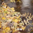 Yellow maple leaves floating on the surface of water — Stock Photo #57580481