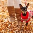 Young woman walking with her miniature pincher puppy in autumn forest wearing winter sweater. — Stock Photo #57580513