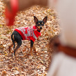 Young woman walking with her miniature pincher puppy in autumn forest wearing winter sweater. — Stock Photo #57580531