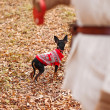 Young woman walking with her miniature pincher puppy in autumn forest wearing winter sweater. — Stock Photo #57580535