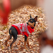 Young woman walking with her miniature pincher puppy in autumn forest wearing winter sweater. — Stock Photo #57580537