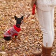Young woman walking with her miniature pincher puppy in autumn forest wearing winter sweater. — Stock Photo #57580557