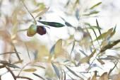Aceitunas en olivo en otoño. imagen de la naturaleza de temporada — Foto de Stock