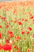 Vivid poppy field on the sunset. Crimea — Stock Photo