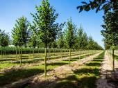 Rows of caucasian lime trees — Stock Photo