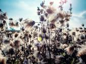 White fluffy great burdock close-up  — Stock Photo