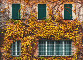 Old building with yellowed ivy and green windows — Stock Photo