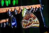 Close-up of Morpho peleides butterfly and chrysalis — Stock Photo