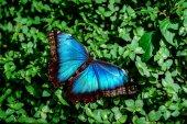 Blue Morpho butterfly  — Stock Photo