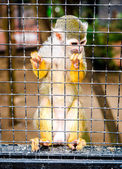Squirrel Monkey in a cage — Foto Stock
