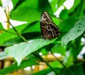 Morpho peleides butterfly — Stock Photo