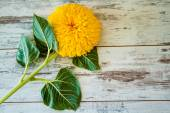 Sunflower with Leaves — Stock Photo