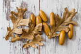 Dried Acorns with leaves — Stock Photo