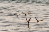 Flying Seagull, Most Famous Among Seabirds — Stock Photo