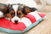 Portrait puppy on the pillow — Stock Photo