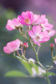 Inflorescence pink roses — Stock Photo