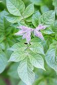 Potato leaves — Stock Photo