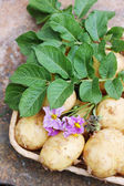 Tubers young potatoes — Stock Photo