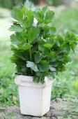 Bouquet of fresh Celery — Stock Photo