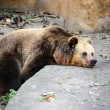 Big brown bear resting — Stock Photo #65457077