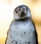 Portrait of African penguin (spheniscus demersus) — Stock Photo