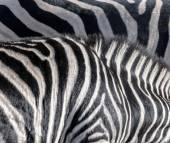 Abstract zebra — Stock Photo