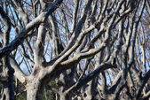 Naked trees with branches — Stock Photo