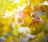 Äpfel am Baum hängen — Stockfoto