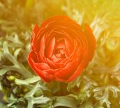 Beautiful rose flower closeup — Stock Photo