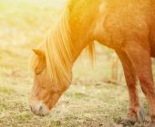 Icelandic horse grazing — Stock Photo