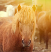 Icelandic horse portrait — Stock Photo