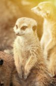 Meerkat portrait — Stock Photo
