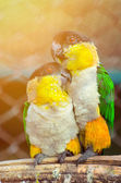 Couple of parrots on a branch in love — Stock Photo