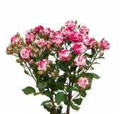 Bouquet di rose rosso-bianco, isolato su bianco — Foto Stock