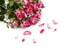 Red-white roses and scattered flower petals on a white backgroun — Stock fotografie