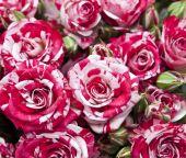 Fundo de rosas naturais — Fotografia Stock