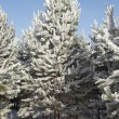 Fir trees covered with snow — Stock Photo #58363795