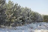 Sparren met sneeuw bedekt — Stockfoto