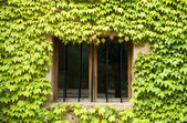 Window covered with green plants — Stock Photo